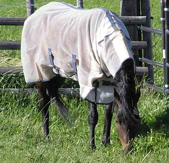 A horse wearing a summer fly sheet with attached neck cover, light blankets ward off insects and prevent coat bleaching FlySheet1.jpg