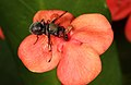Fly on Ixora chinensis (Rubiaceae), a plant which occurs from the Malay peninsula to China. (17141900282).jpg