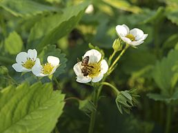 Fragaria Moschata.jpg