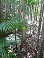 Frazier Island - The giant ferns (4097517726).jpg
