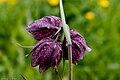 Fritillaire pintade (Fritillaria meleagris).jpg