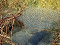 Froschlaich - panoramio.jpg