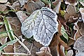 Frosted leaf - geograph.org.uk - 651482.jpg