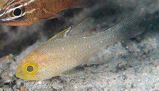 <i>Ostorhinchus hoevenii</i> Species of fish