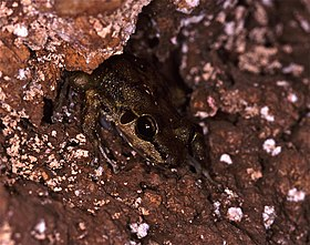 Fuch's Water Frog (Petropedetes vulpiae) (7706659136).jpg