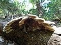 Fungi - panoramio (1).jpg