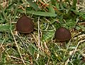 Fungus in coastal grassland - Flickr - S. Rae.jpg