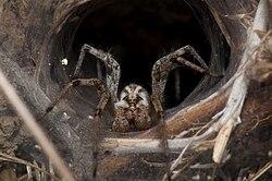 Recluse brune, à l'entrée de son nid