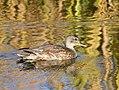 Gadwall on Seedskadee National Wildlife Refuge (37725420056).jpg