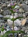 Galeopsis ladanum RF.jpg