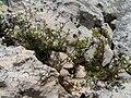 Galium cracoviense Biaklo-2009-06-18.JPG