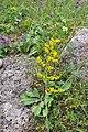 Galium verum Lady's Bedstraw, yellow Bedstraw მინდვრისნემსა.JPG