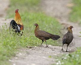 Gallus gallus -Kaziranga National Park, Assam, India-8.jpg