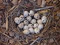 Gambel's Quail nest with 18 eggs, San Tan Valley, Az, March 31, 2013.JPG
