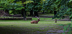 Gamo persa (Dama mesopotamica), Tierpark Hellabrunn, Múnich, Alemania, 2012-06-17, DD 01.JPG