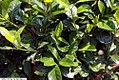 Gardenia jasminoides First Love 1zz.jpg