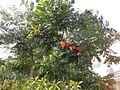 Gardenology.org-IMG 2728 ucla09.jpg