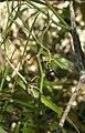 Geitonoplesium cymosum fruit.jpg