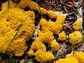Gelbe Lohblüte (Hexenbutter)-Fuligo septica - ansicht-hms(1).jpg