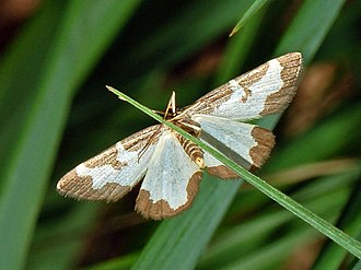 Clouded border - Ventral view