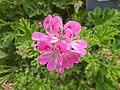 Geraniales - Pelargonium capitatum - 1.jpg