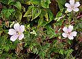 Geranium guatemalense (10841072066).jpg