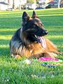 German Shepherd Dog longhaired.jpg