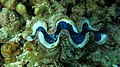 Giant clam Minicoy.jpg
