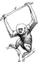 Gibbon (PSF).png