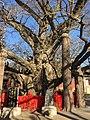 Ginkgo tree fulaishan.jpg