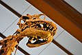 Giraffatitan brancai, Berlin Natural History Museum (7) (39285291405).jpg
