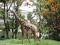 Giraffe in mysore zoo.jpg