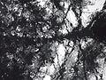Glass, araucaria & rain 02.JPG