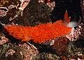 Glaucidae sp 1.jpg
