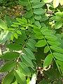 Gliricidia sepium, quickstick, കൊന്നപ്പത്തൽ.jpg