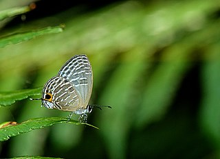 <i>Jamides kankena</i> Species of butterfly