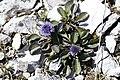 Globularia cordifolia, Bonlieu - img 33431.jpg
