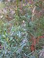 Glycine clandestina plant1 (10753537595).jpg