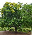 Gold Medallion tree beside a jacaranda tree.jpg