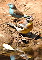 Golden-breasted bunting, Emberiza flaviventris, at uMkhuze Game Reserve, kwaZulu-Natal, South Africa (15479670365).jpg