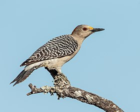 Golden-fronted Woodpecker (34799309292).jpg