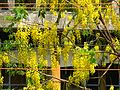 Golden Shower tree (486405809).jpg