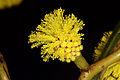 Golden Wattle (Acacia pycnantha) (19016268359).jpg