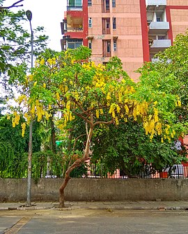 Golden shower tree.jpg