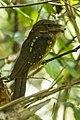 Gould's Frogmouth - Si Phangnga - Thailand MG 9666 (14258331524).jpg