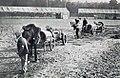 Grand Prix de l'ACF 1906, des chevaux pour emmener les voitures au départ, sans les conduire.jpg