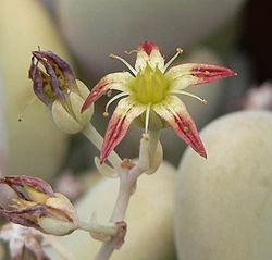 Graptopetalum amethystinum 3.jpg