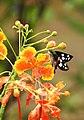 Grass Demon Udaspes folus nectaring by Dr. Raju Kasambe DSCN1591 (6).jpg