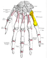 Gray220 - Fifth metacarpal bone.png
