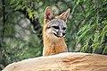 Gray fox (48022889218).jpg
